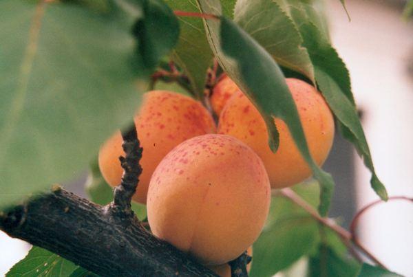 Базовое масло абрикосовых косточек (рис. 1)