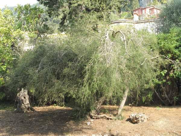 Эфирное масло Чайное дерево (рис. 1)