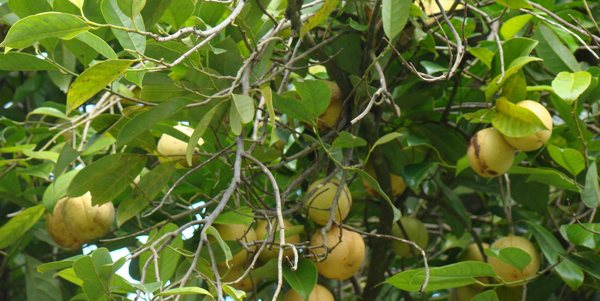 Эфирное масло Мускатный орех (рис. 1)