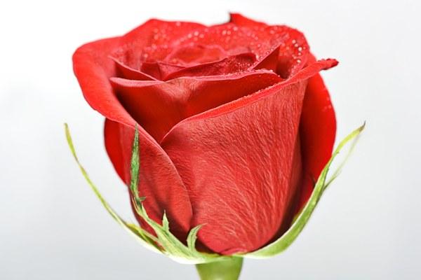 Эфирное масло Роза (рис. 5)